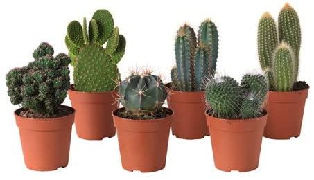 Grande Cactus Ikea